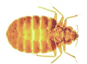 Bed Bugs Nottinghamshire