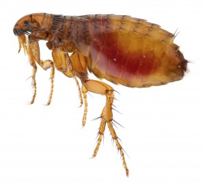 Flea Removal Nottinghamshire