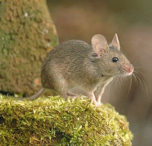 Mice Removal Nottinghamshire