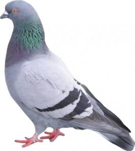 Pigeon Proofing