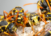 Wasp Nest Removal-Pest Control Nottingham