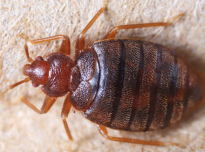 Bedbug control Nottingham