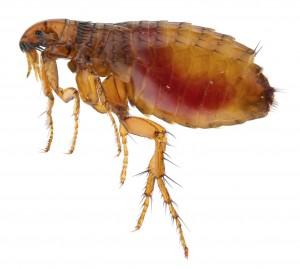Flea Control nottingham