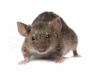 Pest Control Nottingham